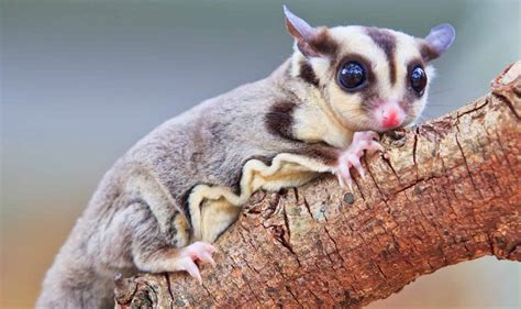 Guide to the 17 Different Sugar Glider Breeds and Colors