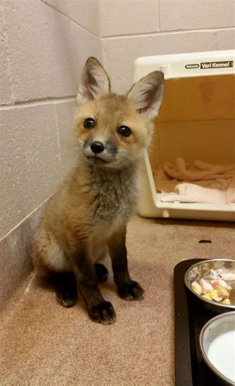 Blind, Orphaned Red Fox Kit at Buttonwood Park Zoo - ZooBorns